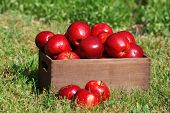 picture of wooden crate  - Ripe red apples in wooden crate on green grass outdoors - JPG