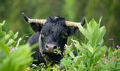 stock photo of cow head  - a black cow head with horns in the grass  - JPG