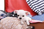 picture of dog clothes  - Adorable chihuahua dog in suitcase with clothing close up - JPG