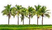 stock photo of grassland  - Line up of coconut tree and grassland isolated on white background - JPG