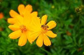 image of cosmos flowers  - yellow cosmos flower with bee in the garden - JPG