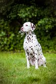 pic of spotted dog  - dalmatian breed dog posing outdoors in summer - JPG