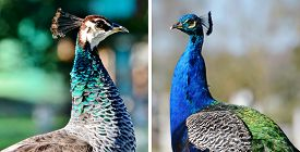 pic of female peacock  - Collage with female and colorful male Indian Peacock - JPG