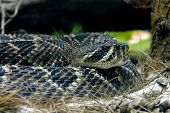 stock photo of western diamondback rattlesnake  - Rattlesnake coiled up looking straight and waiting to strike - JPG