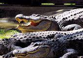 Aligators