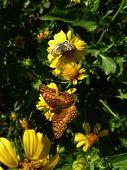 Vesta Butterfly