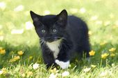 Black And White Kitten In Field Of Buttercup Flowers