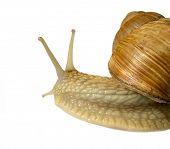 grape snail on white background