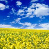 yellow flowers on spring field