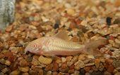 Albino Corydora Fish.