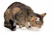 Eating Little Cat
