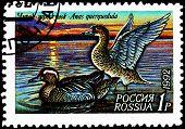 Garganey, Anas Auerquedula Ducks On Lake