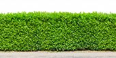 Tall  Hedge With Gravel Road Isolated On White poster