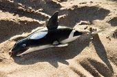 Toy Of Killer Whale From Rubber Lies On The Sand, Concept Of The Destruction Of Mammals poster