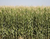 Colorado Corn Harvest