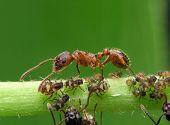 Ant & Aphises