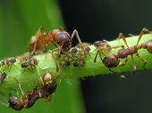 Ants & Aphises