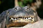 stock photo of crocodilian  - A digital image of an alligator in a zoo in Tenerife - JPG