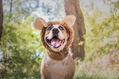 Funny Dog Portrait In Bear Hat Photographed Outdoors. Happy Smiling Staffordshire Terrier Sits In Wi poster