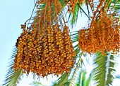 Dates On A Palm Tree