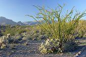 Ocotillo Cactus
