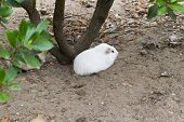 White Guinea Pigs Rest At The Foot Of A Laurel. Guinea Pigs From The Andean Cordillera They Are Not  poster