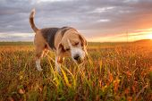 Beagle Dog Eats Green Grass While Walking In The Meadow On A Summer Evening At Sunset poster