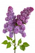 Blooming purple lilac flower on white