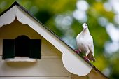 White Pigeon On Top Of A Dovecote