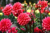In A Flower Bed A Considerable Quantity Of Flowers Dahlias With Petals In Various Tones Of Pink Colo poster