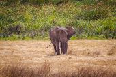 Elephant In Safari. African Elephant In The Wild. Big Elephant In Africa. poster
