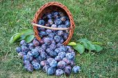 Plum Harvest. Plums In A Wicker Basket On The Grass. Ripe Plums In A Wicker Basket, Plums Scattered  poster