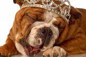 Bulldog Yawning