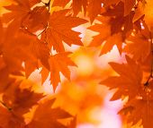 foto of fall leaves  - highly detailed image of autumn leaves very shallow focus - JPG