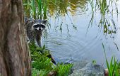 Racoon in the brush on the lake.