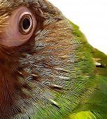 Dusky Conure Eye