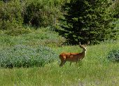 stock photo of buck teeth  - Buck in the Bear Tooth Mountains of Montana - JPG