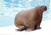 walrus in zoo