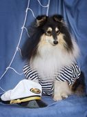 Sheltie In Captain Suite