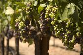 image of wine grapes  - ripening red grapes on the vine in a vineyard in Napa Valley California