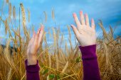 Hands Of A Young Girl In The Wheat Field