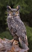 Great Horned Owl Look