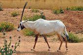 Arabische Oryx-Antilope