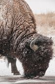 picture of arsenal  - Bison in snow at Rocky Mountain Arsenal - JPG
