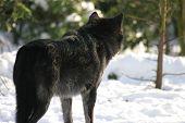 Black Wolf Staring