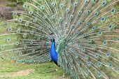 Indian Peafowl, Pavo Cristatus