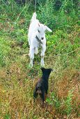 White Goat And A Puppy