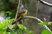 Female Orange-breasted Trogon (harpactes Oreskios)