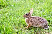 Wild eastern cottontail rabbit, Sylvilagus floridanus, in field with copy space