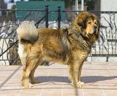 pic of tibetan  - Portrait of a beautiful dog breed Tibetan Mastiff - JPG